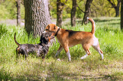 The first meeting of two young puppies.  Royalty Free Stock Image