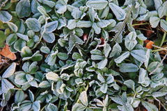 First morning frost on the green plants Royalty Free Stock Photos