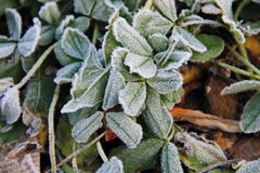 First morning frost on the green plants Royalty Free Stock Image
