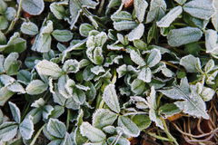 First morning frost on the green plants Stock Photo