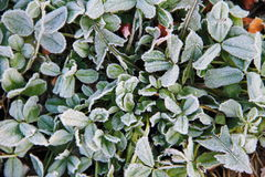 First morning frost on the green plants Royalty Free Stock Images