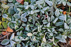 First morning frost on the green plants Stock Image