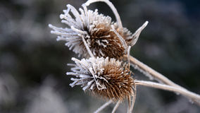 First morning  frost on a plants, Stock Image