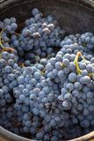 First new harvest of black wine grape in Provence, France, ready for first pressing, traditional festival in France. Close up royalty free stock photo