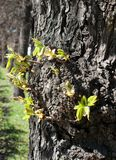 First new leaves on the tree in spring Royalty Free Stock Photography
