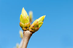 First new spring burgeon/bud on blue sky background. Outdoors cl Royalty Free Stock Photos