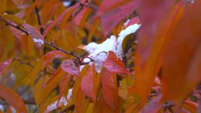 The first November snow on the green leaves. Early winter. Beautiful background. Early snow stock footage