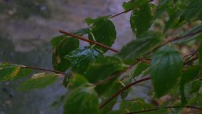 The first November snow on the green leaves. Early winter. Beautiful background. Early snow stock video footage