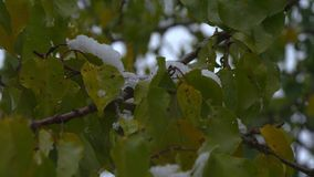 The first November snow on the green leaves. Early winter. Beautiful background. Early snow stock video