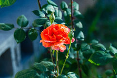 First orange rose blossom of the season has arrived. The first orange rose blossom of the season has arrived stock photos
