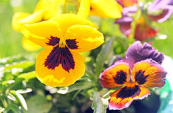 First pansy flower at spring Stock Photo