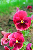 First pansy flowers at spring Royalty Free Stock Images