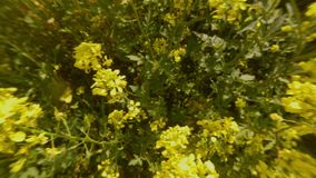 A first-person view of a bee quickly flies over yellow thick rape flowers, close-ups. Ancient Olive Trees, a collection of landscapes in an old olive garden in stock video footage
