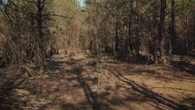 First-person view for a walk through a forest. First-person view for a walk through a dense summer forest stock video footage