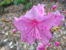 First Pink Azalea Plants Blossoming in Spring at Central Park. Royalty Free Stock Images