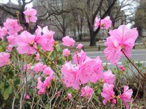 First Pink Azalea Plants Blossoming in Spring at Central Park. Stock Photo