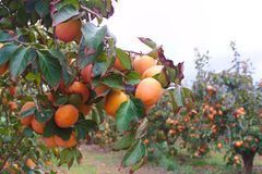 Cultivation of persimmons, bright red or persimon, in a field of the Ribera del Xúquer in full production. In the first place we see a tree from a field of royalty free stock photo