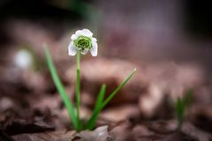 The first snowdrop on the background of dry leaves. Spring day royalty free stock photos
