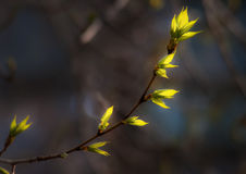 The first poplar leaves. Spring. The first poplar leaves in the rays of the setting sun Royalty Free Stock Images