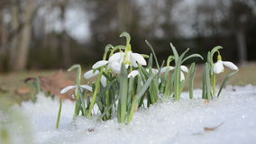 First pring snowdrop snowflake flowers in snow move wind stock video