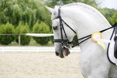 First prize winner dressage horse galloping with her rosette badge Stock Photo