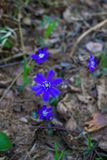 The first purple flowers of the Hepatika make their way through last year`s leaves in the forest, in early spring. stock image