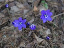 The first purple flowers of the Hepatika make their way through last year`s leaves in the forest, in early spring royalty free stock image