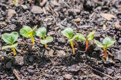 Small radish plants shortly after germination in a vegetable patch stock image