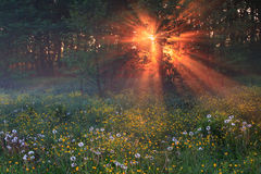 The first rays of dawn. In forest Royalty Free Stock Photo