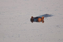 First rays and a hippo Royalty Free Stock Images