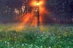First rays of the rising sun. The rays of dawn sunlight illuminate the clearing with wildflowers and dandelions Royalty Free Stock Image