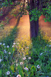 The first rays of the rising sun. The rays of dawn sunlight illuminate the clearing with wildflowers Royalty Free Stock Photos