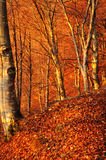 The first rays of sun hit an autumn beech wood stock image