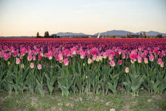 First row of pink tulips Royalty Free Stock Images