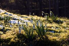 First set of spring flowers, Kloster Lily. Small white flowers. stock images