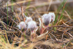 First shoots of sleep-grass. First spring flowers. Gentle fluffy first shoots of sleep-grass Royalty Free Stock Photo