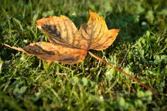 First sign on autumn at cut grass Royalty Free Stock Photography