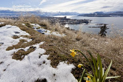 First Sign of Spring. A flower grows near a patch of snow as the first sign of spring arriving, overlooking a city surrounded by snow covered mountains Royalty Free Stock Image
