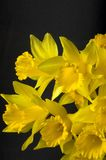 First Sign of Spring. Wild jonquils blooming just before Spring becomes officially here royalty free stock photos