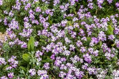 First sign of spring small purple flowers blooming royalty free stock image