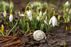 The first sign of spring. Small white single snowdrop bell, spring in Poland. Stock Photos
