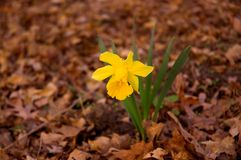 First signs of spring. A lonely daffodil blooms through the left over leaves of fall Stock Photo