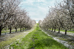First signs of Spring in the almond orchard. Late February bloom in an almond orchard in Turlock, California Stock Photo