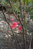 The first signs of spring - bright red flowers on a bush Stock Photo