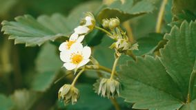 First small white strawberry flowers in the garden. Bush blooming strawberry close up view stock video