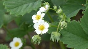 First small white strawberry flowers in the garden. Bush blooming strawberry close up view stock video footage