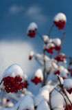 First snow. On the bushes with red berries Royalty Free Stock Images