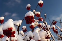 First snow. On the bushes with red berries Royalty Free Stock Photo