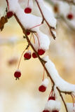 First snow. Autumn. The first snow on a branch of an apple-tree Stock Image