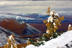 First Snow. Lonely autumn larch on a hillside covered with first snow Stock Image